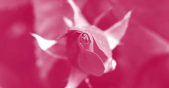 Red tinge rose-blog crop.png
